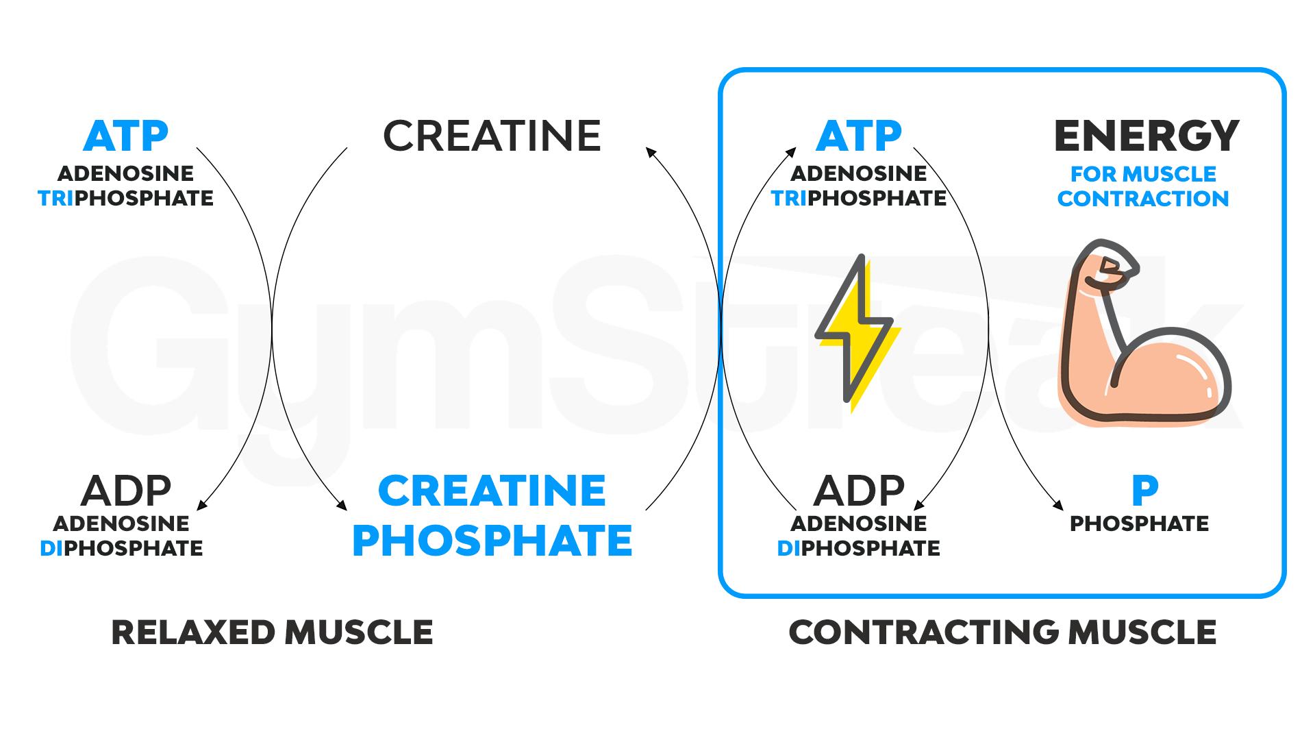 Simplified ATP cycle diagram